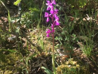 Ruta de las orquídeas 2019. Losar de la Vera